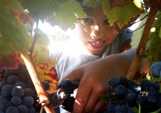 A child cutting grapes