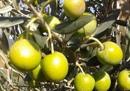 olive_fruit-landscape